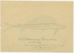 Animals - Alepidosanms [Alepidosaurus] Borealis by John Muir