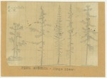 Trees - Pinus Aristata, Kings River