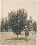 John Muir in pear orchard at home, Martinez, California
