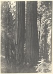 John Muir, James S. Merriam, unidentified, William Keith in Giant Forest, Sequoia National Park, California