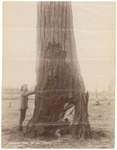 John Muir at 'Ironbark' (Eucalyptus) tree in Australia