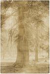 John Muir by Lodgepole Pine ('pinus contorta'), Upper Mokelumne Meadows, California