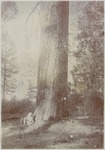 John Muir by Sugar Pine, Sequoia ('Crocker's Station), California