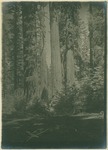 John Muir near Mother of the Forest, North Grove, Calaveras Big Trees, California