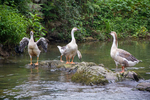 Geese in river by Marie Anna Lee