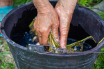 Squeezing sap from Chinese gooseberry into water by Marie Anna Lee