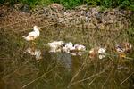 Ducks by Marie Anna Lee