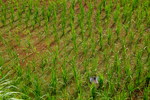Paddy field by Marie Anna Lee