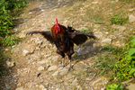 Rooster by Marie Anna Lee