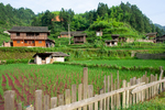 Rice fields by Anastasya Uskov