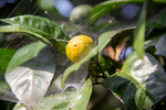 Lemon with spider webs by Marie Anna Lee