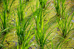 Rows of paddy by Marie Anna Lee
