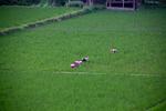Women working in paddy fields by Marie Anna Lee