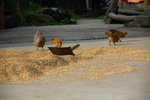 Chickens with drying rice by Marie Anna Lee