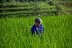 Working in the paddy field by Marie Anna Lee