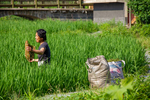 Gathering algae from paddy field by Marie Anna Lee