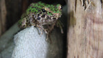 Spotted frog video