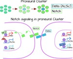 Notch signaling and lateral inhibition